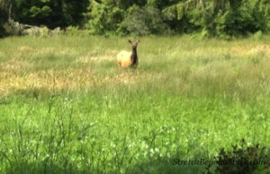 photo of elk in field